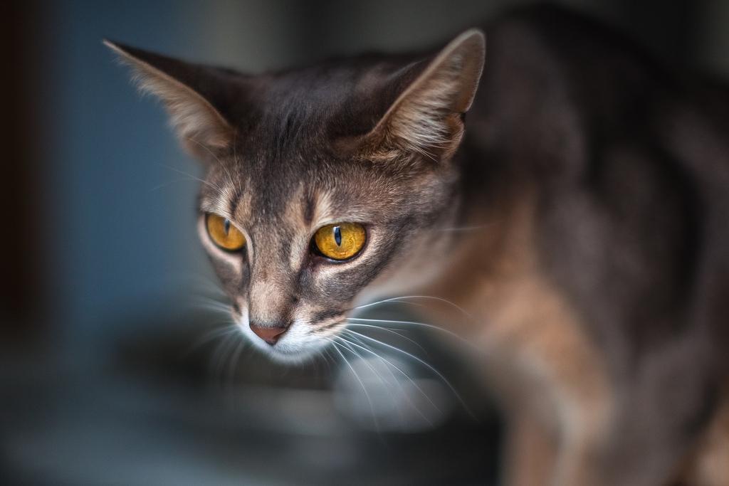 аллергия на абиссинских кошек