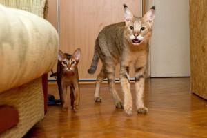 Камышовый кот3