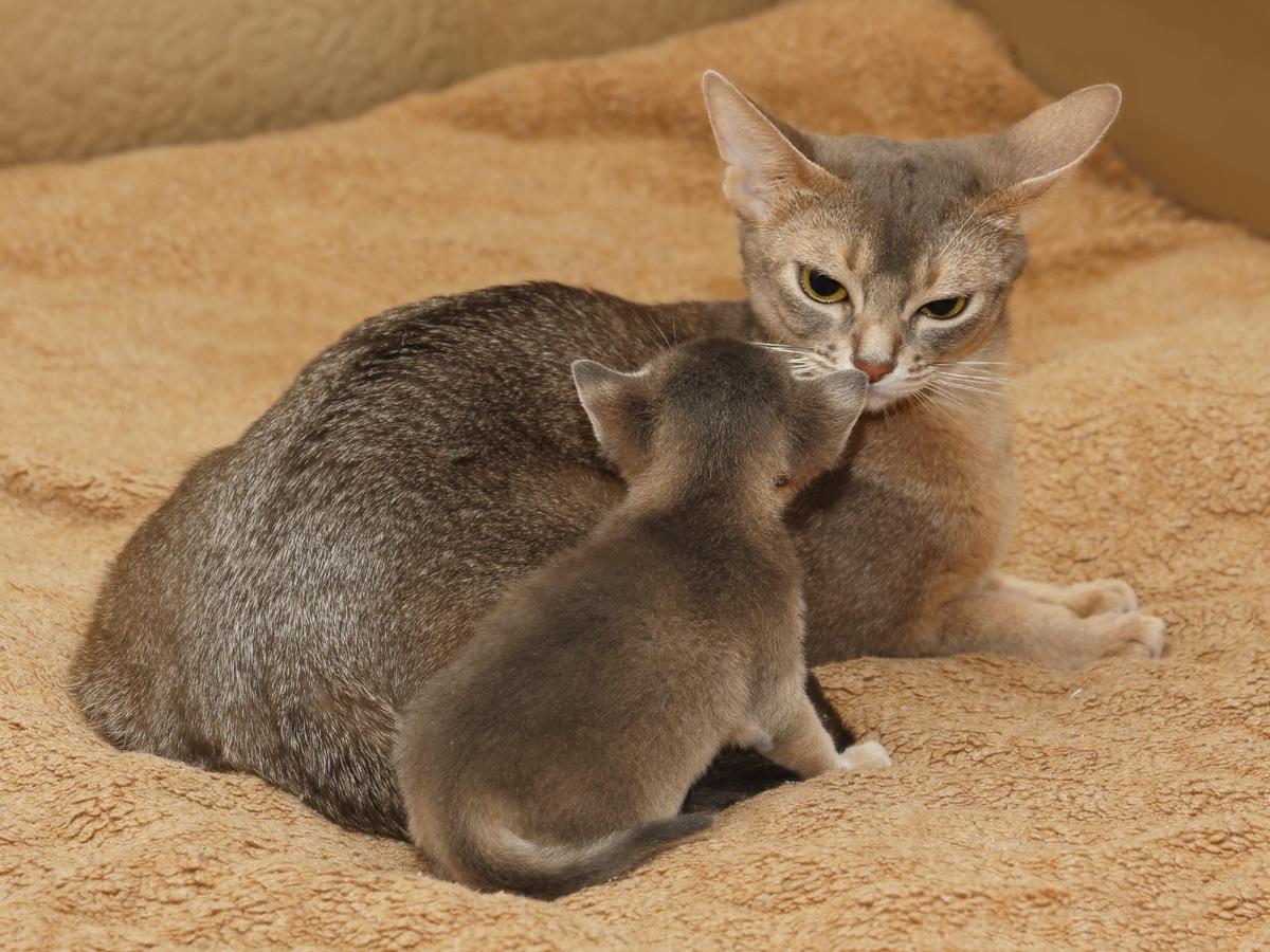 Сексуальное поведение кошек
