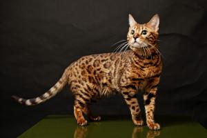 Бенгальская кошка 6