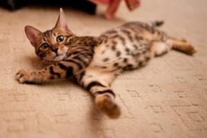 Бенгальская кошка 4