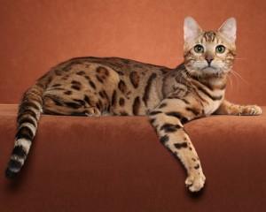 Бенгальская кошка 7