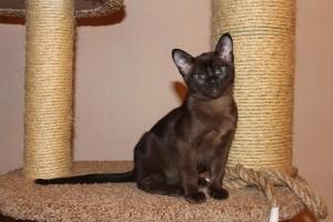 Бурманская кошка 2
