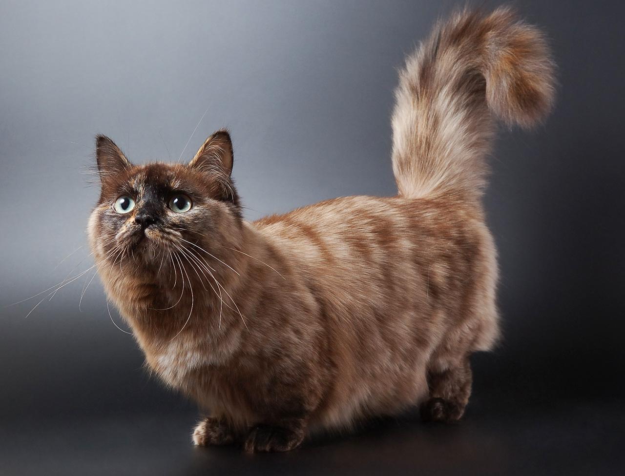 Кошка Манчкин 4