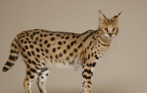 Кошка Саванна 5