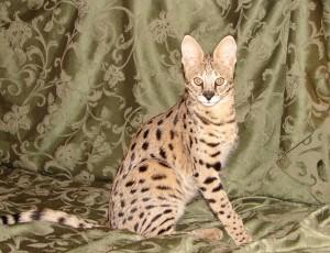 Кошка Саванна 4