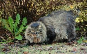 Норвежская лесная кошка 4