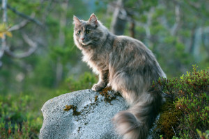 Норвежская лесная кошка 6