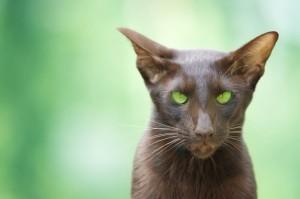 Ориентальная кошка 6