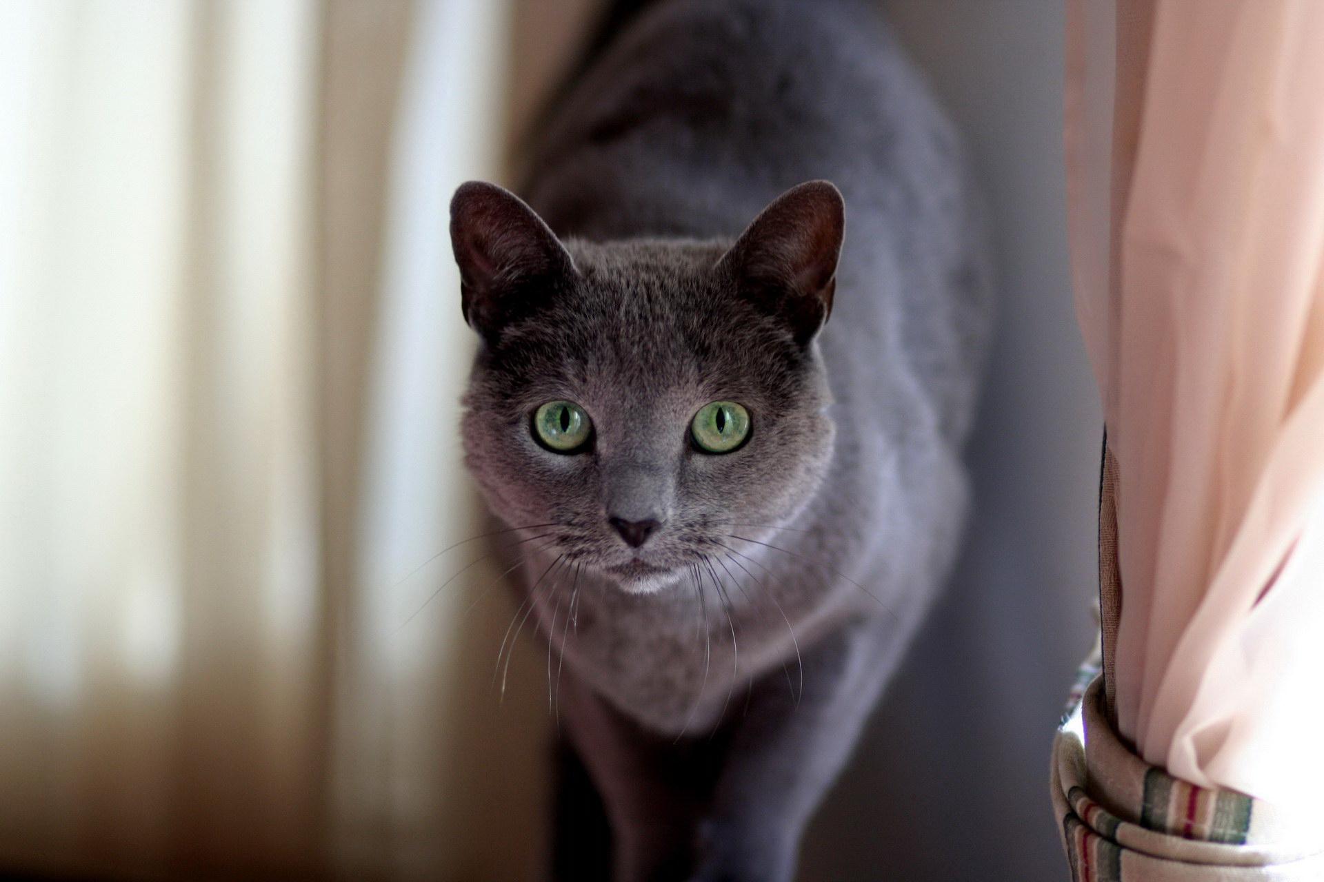 Русская голубая кошка1