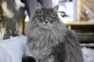 Сибирская кошка 2