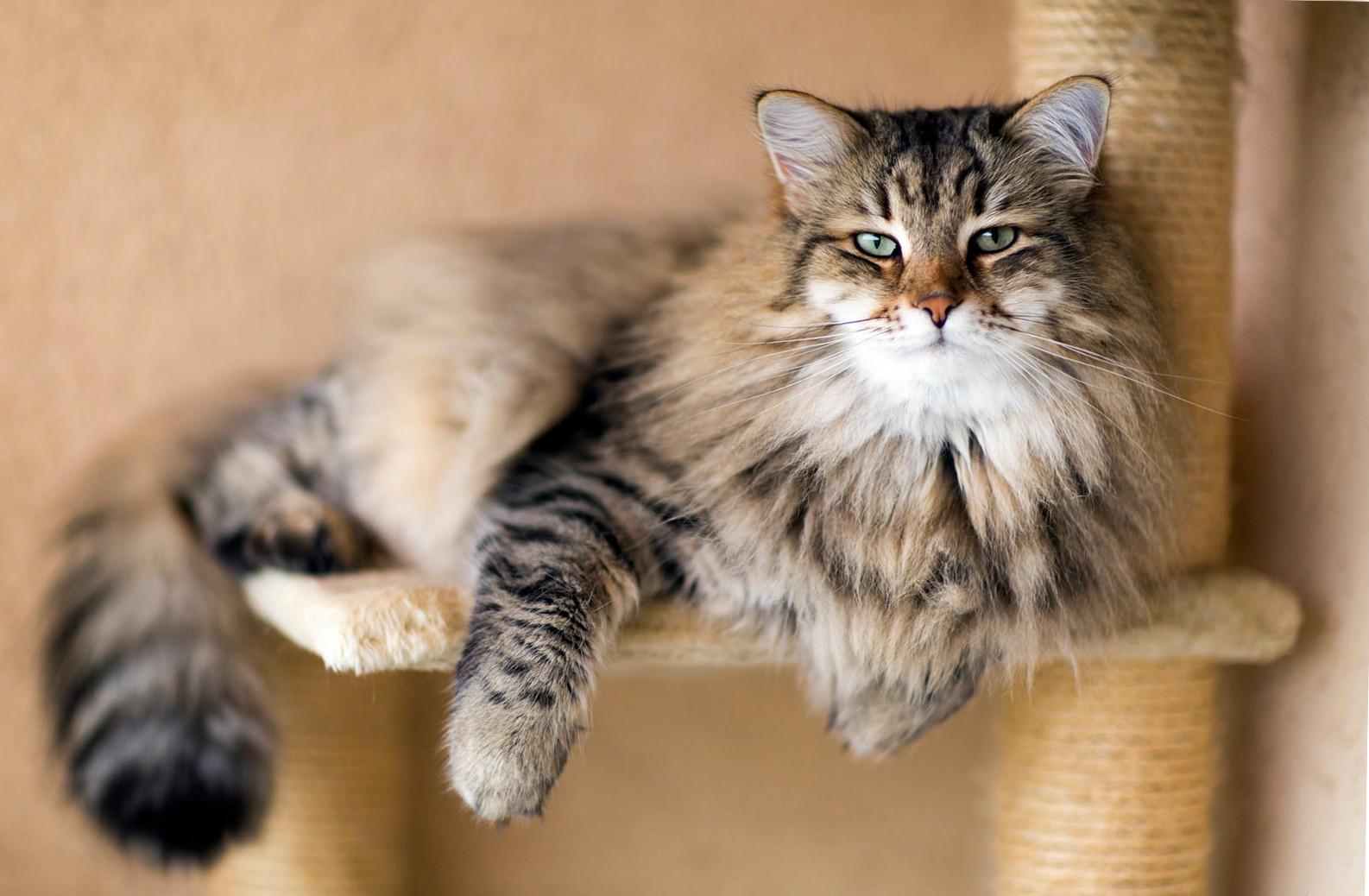 Сибирская кошка 3