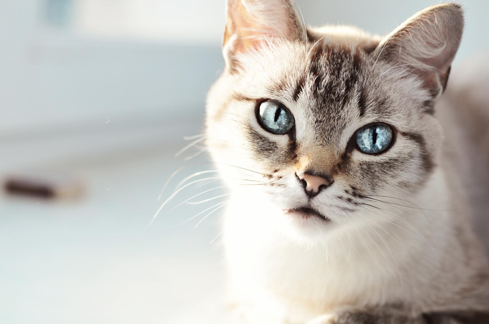 Тайская кошка 5
