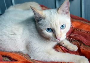 Тайская кошка 4