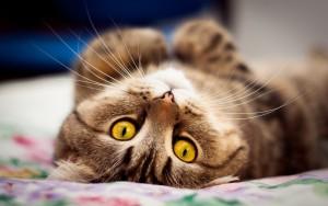 Течка у кошки как выглядит