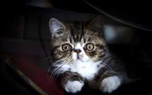 Экзотическая кошка 6