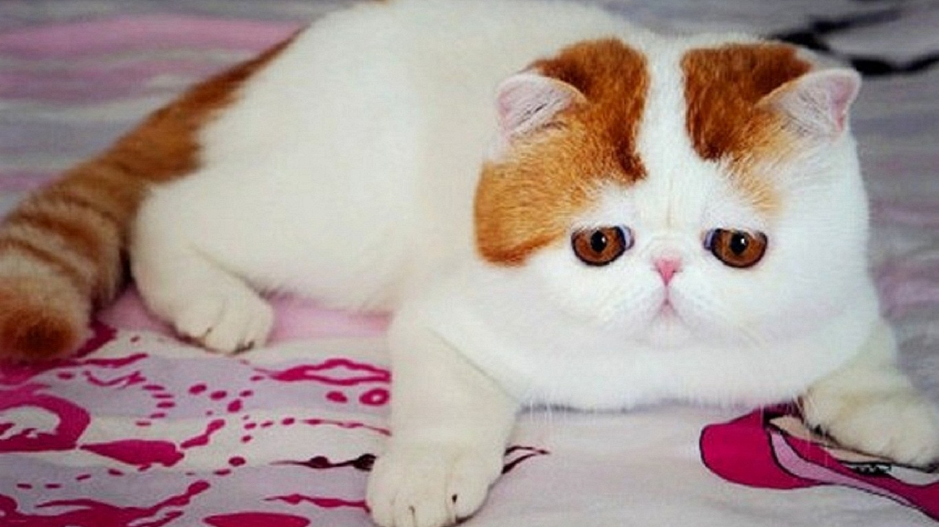 кошек породы экзоты фото