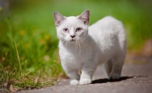 Кошка Манчкин 3