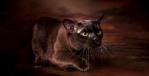 Бурманская кошка 3