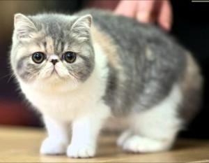 Экзотическая кошка 5