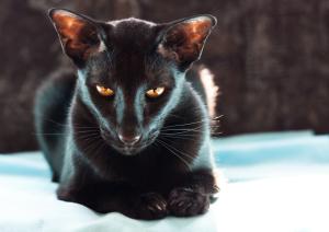 Ориентальная кошка 3