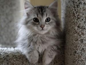 Сибирская кошка 9