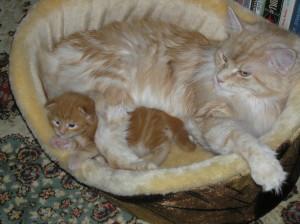 Беременность у кошки 6