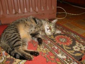 Беспородная кошка 4