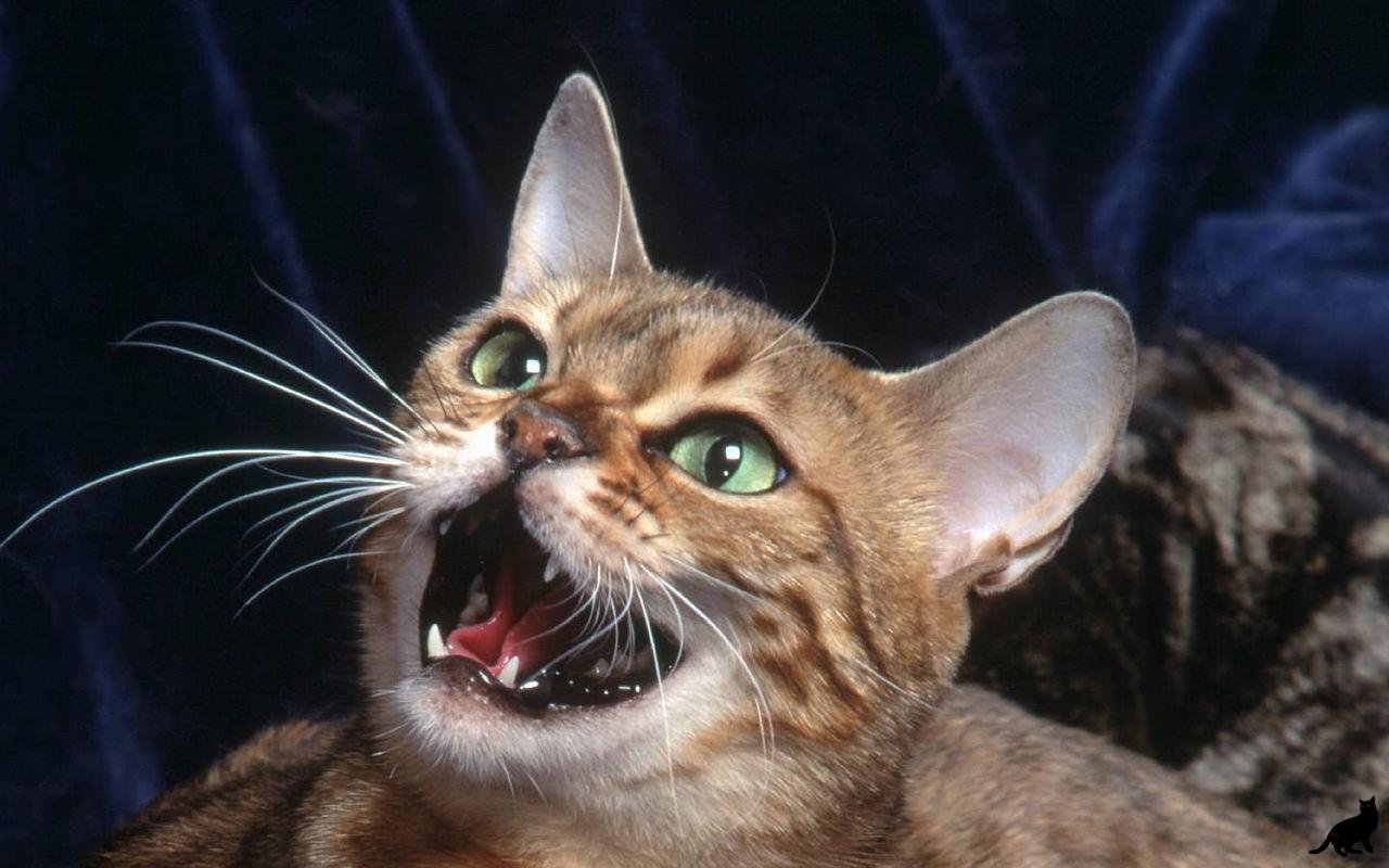 Звуки кричащего кота