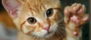 Почему кошка топчет лапками человека