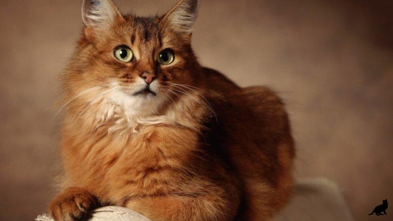 Сомалийская кошка 2