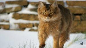 Сомалийская кошка 3