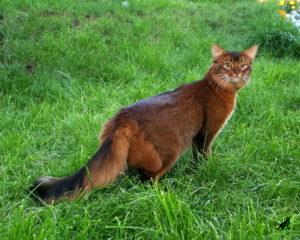 Сомалийская кошка 4