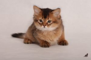 Сомалийская кошка 5