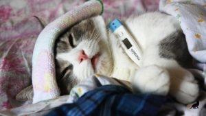 Температура тела у кошки 3