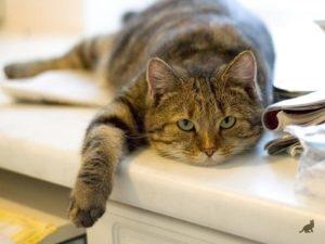 Температура тела у кошки 4