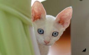 Чистка ушей у кошки 3