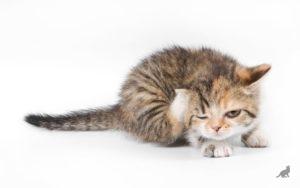 Чистка ушей у кошки 4