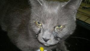 Слезы у кошки