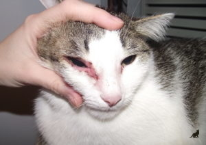 Аллергия у кошки 1