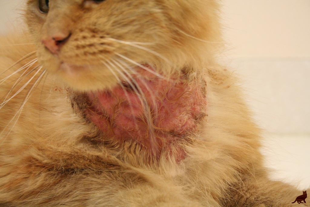 Аллергия у кошки 2