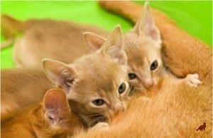 Беременная кошка 4