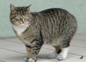Короткошерстные породы кошек 1
