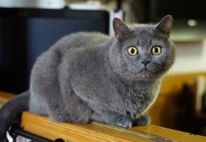 Короткошерстные породы кошек 2