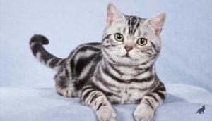 Короткошерстные породы кошек 4