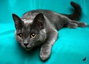 Короткошерстные породы кошек 5