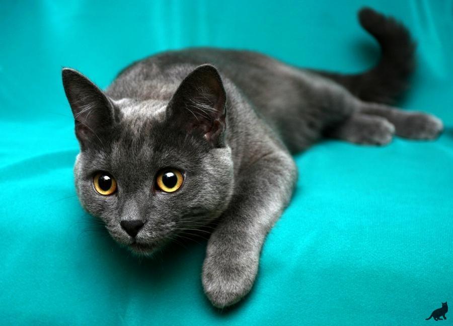 Какие породы котов короткошерстные