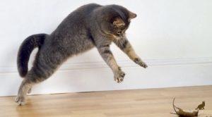 Токсоплазмоз у кошек 1
