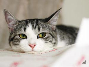 Токсоплазмоз у кошек 4