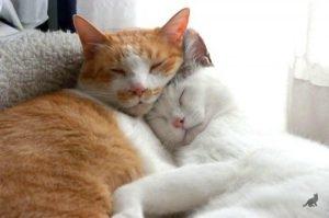 Вязка кошек 2